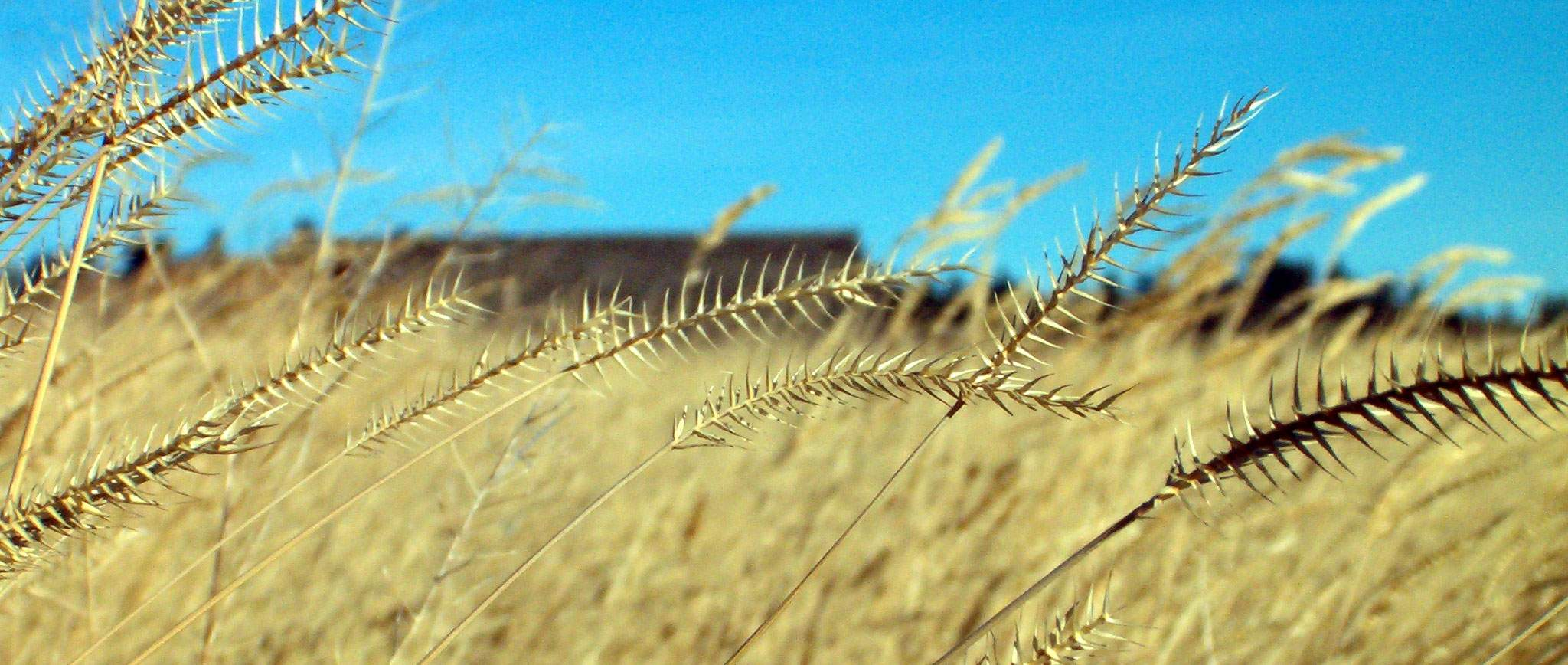 A close up of wheat stalks in the sun